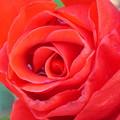 写真: 薔薇の涙
