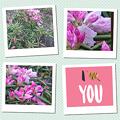 写真: 石楠花咲き始めたよ