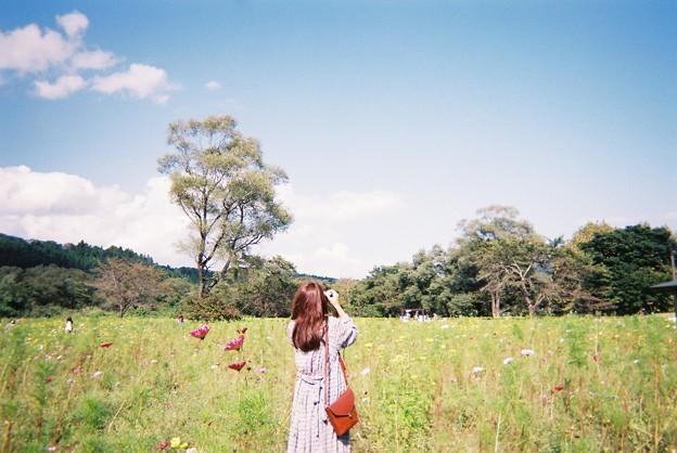 コスモス畑と彼女