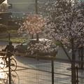 写真: 夕日.桜