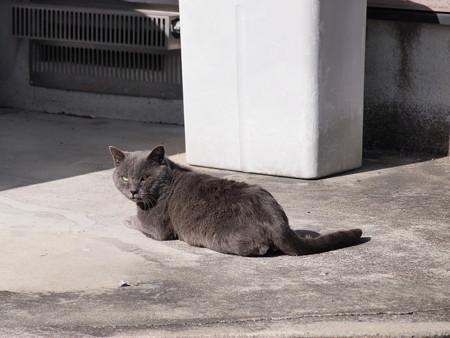 灰色な風格を漂わせる猫