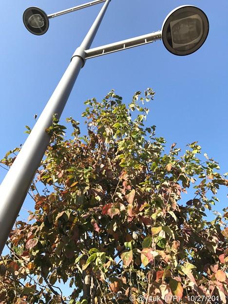 10.27街路樹の紅葉~色づき始め~autumn in leaves