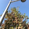 写真: 10.27街路樹の紅葉~色づき始め~autumn in leaves