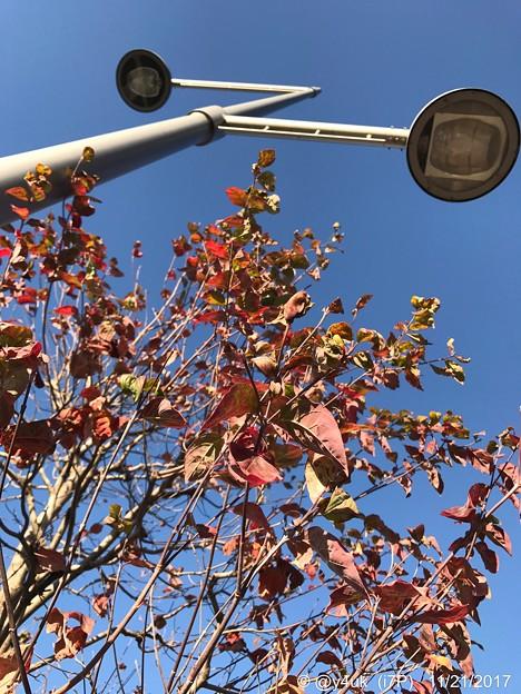 11.21街路樹の紅葉~紅に染まったこのオレを♪~autumn in orange red leaves