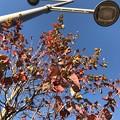 写真: 11.21街路樹の紅葉~紅に染まったこのオレを♪~autumn in orange red leaves