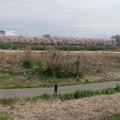 Photos: 背割り桜全景2