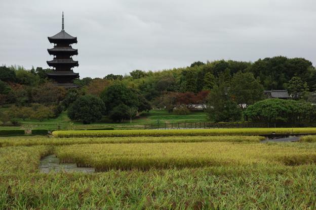 収穫前の赤米と備中国分寺