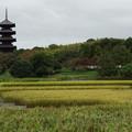 Photos: 収穫前の赤米と備中国分寺