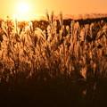 写真: 夕日に映えるすすき