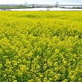 Photos: 福島潟・菜の花2