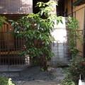 Photos: アオキのある玄関