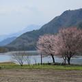 写真: 湖畔の桜