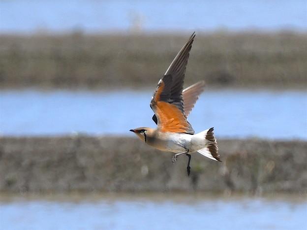 ツバメチドリのオレンジの羽