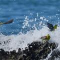 写真: アオバトの海-3