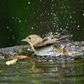 キビタキの水浴び-1