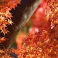 写真: 紅葉 艶やかに