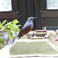 Photos: イソヒヨドリ♂サンルームでエサを食べる常連(2)FK3A7181