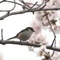 写真: 桜エナガ(5)FK3A8876
