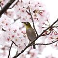 写真: 桜メジロ(1)FK3A8913