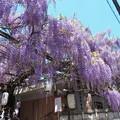 野田ふじ祭り(3)IMG_2167 by ふうさん