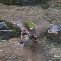 ミヤマホオジロ♀水浴び(2)044A2120