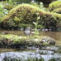 コサメビタキ(1)水浴び 044A1870