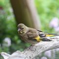 Photos: カワラヒワ幼鳥(2)FK3A0261