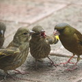 Photos: カワラヒワ幼鳥への給餌(1)FK3A0331