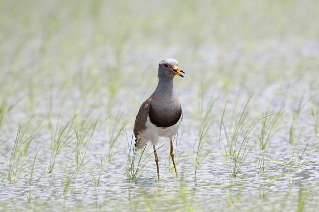 ケリ(4)親鳥 044A4557
