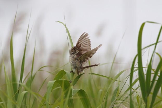 オオヨシキリ(6)成鳥FK3A2448