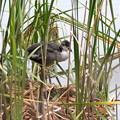 オオバン(2)幼鳥 FK3A2521