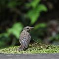 オオルリ(3)幼鳥 044A8254