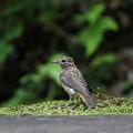 オオルリ(2)幼鳥 044A8252