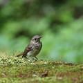 オオルリ(4)幼鳥 044A8326