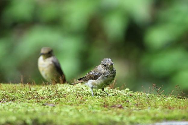 オオルリ幼鳥♀(3)044A8492