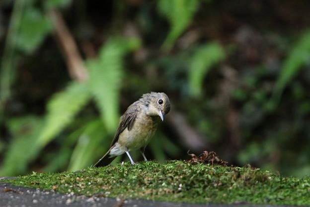 キビタキ(1)幼鳥 044A8664