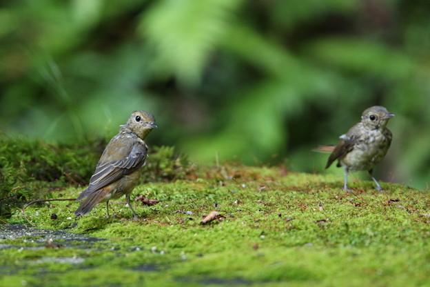 キビタキ(2)幼鳥 044A8680