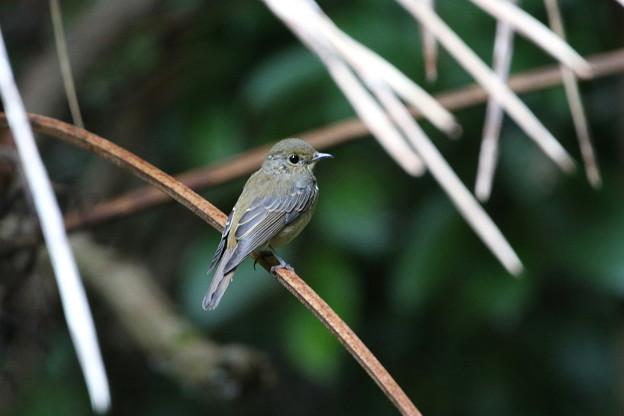 キビタキ(3)親鳥♀ 044A8712