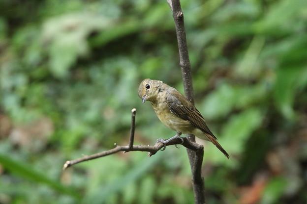オオルリ幼鳥(1)044A8608