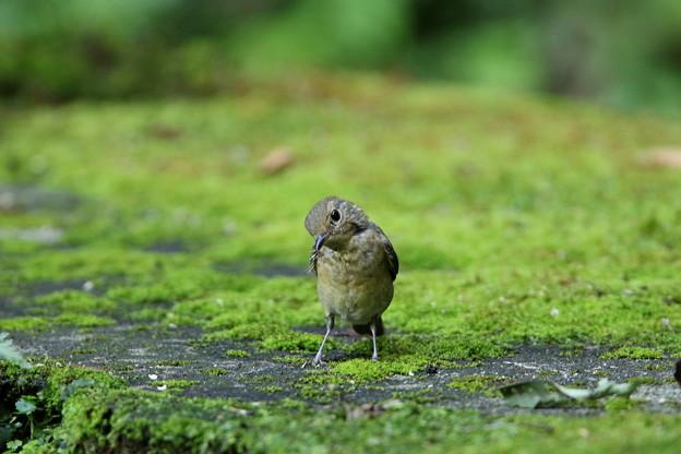 オオルリ幼鳥(2)044A8684