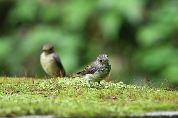 オオルリ幼鳥(4)044A8492