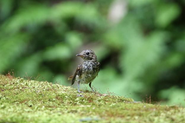 キビタキ幼鳥(1)044A8234