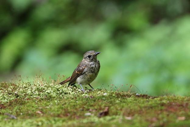 オオルリ(1)幼鳥 044A8327