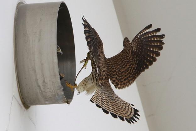 チョウゲンボウの餌(1)トカゲ 044A3271