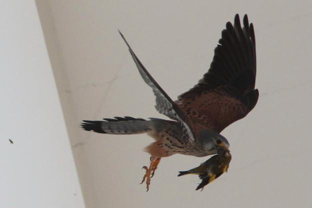 チョウゲンボウの餌(4)カワラヒワ 044A3152
