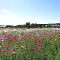 写真: コスモス畑(2)IMG_3146 by ふうさん