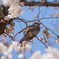 写真: 桜&鳥
