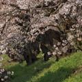 写真: 櫻並木