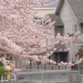 ?村住宅旁滿開櫻花