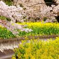 写真: 山科疏水(カラフル)